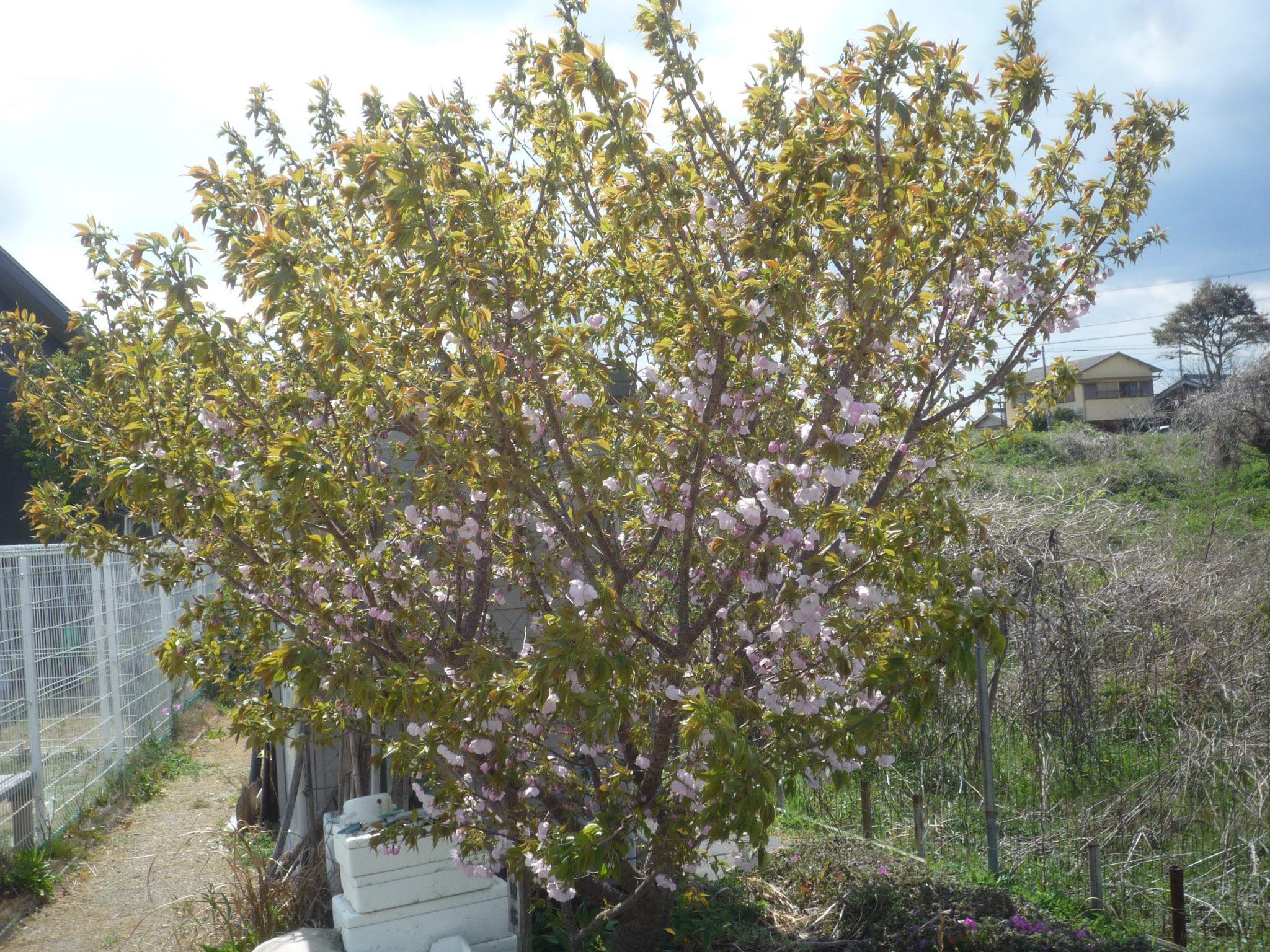 咲いた、咲いた横輪桜